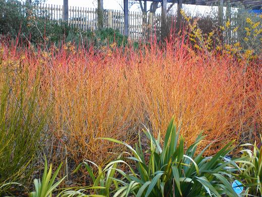 Cornus sanguinea `Midwinter Fire'